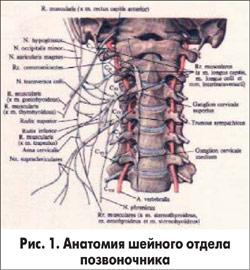 Передние ветви спинномозговых нервов.