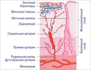 Рисунок. Строение эндометрия