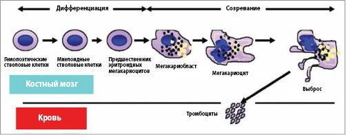 Рис. 2. Жизненный цикл тромбоцитов
