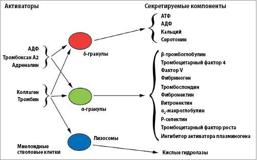 Рис. 3. Три вида гранул хранения в тромбоцитах (α-гранулы, δ-гранулы и лизосомы)