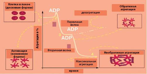 Рис. 5. Двухфазная волна агрегации