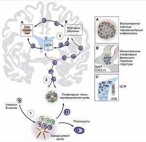 Рис.2. В-клетки как иммунологически активное cвязующее звено между периферией иЦНС (поH.-C. von Budingen исоавт., 2016)