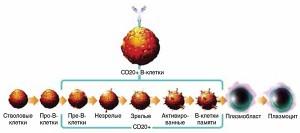 Рис.4. Экспрессия кластера дифференциации CD20 входе созревания В-клеток